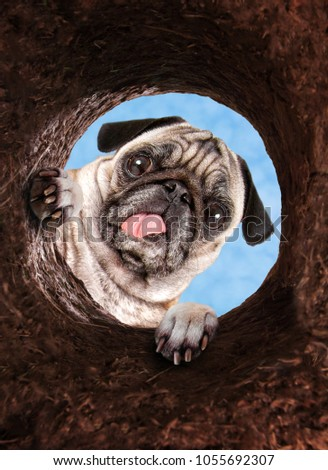 cute pug looking down into a dirt hole