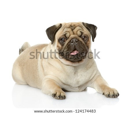 Cute pug lying. isolated on white background