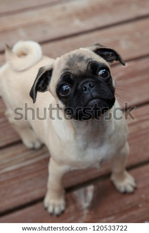 Cute pug puppy stares up toward camera with an expectant face.