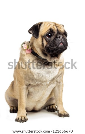 Cute Pug sitting with rose decoration on collar.
