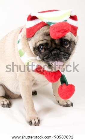 Cute Pug Sticking Tongue Out