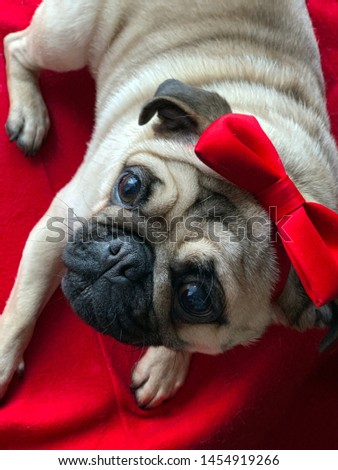 Cute Pug wearing Red Bow Tie