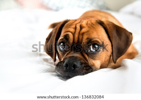Cute Puggle Looking Laying in Bed on White Sheets