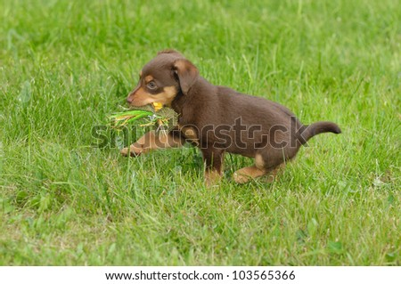 cute puppie dog 8 weeks running with toy