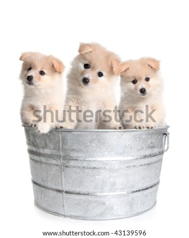 Cute Puppies in an Old Silver Washtub on White Background