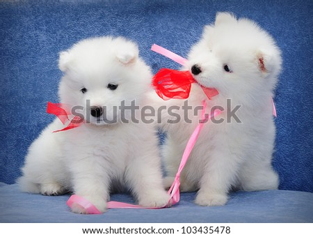 Cute puppies of Samoyed dog (also known as Bjelkier) playing with each other's ribbons