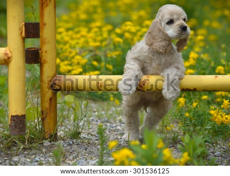 cute puppy - american cocker spaniel puppy with paws on metal fence