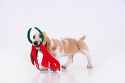 Cute puppy basset hound dragging christmas decorations and chewing on a white background