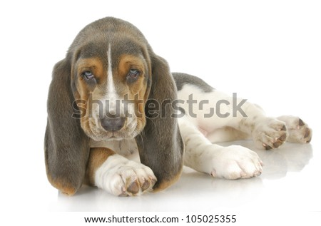 cute puppy - basset hound puppy laying down looking at viewer - 8 weeks old