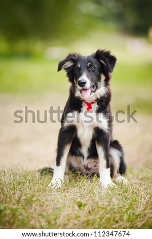 cute puppy border collie sitting on the grass