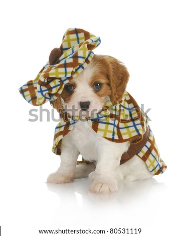 cute puppy - cavalier king charles spaniel wearing plaid coat and matching hat - 6 weeks old