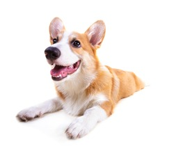 Cute Puppy Corgi Pembroke isolate on white background.