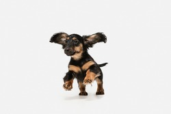Cute puppy, dachshund dog posing isolated over white background
