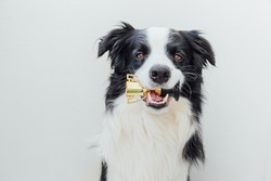 Cute puppy dog border collie holding miniature champion trophy cup in mouth isolated on white background. Winner champion funny dog. Victory first place of competition. Winning or success concept