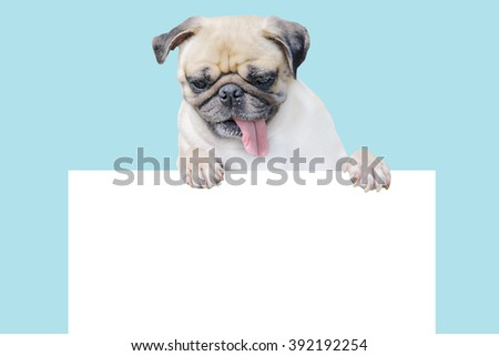 Cute puppy dog pug above banner look down with copy scape for label on blue background, Mockup template for gift certificate