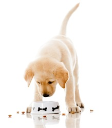 Cute puppy eating dog food - isolated over a white background