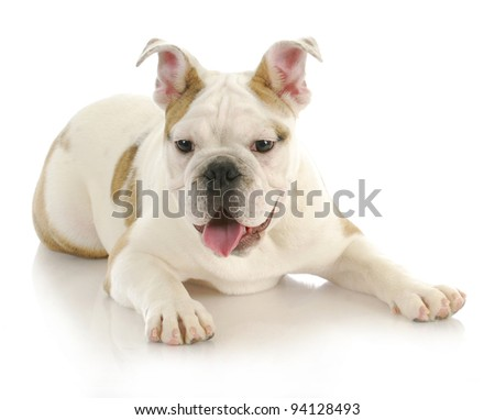 cute puppy - english bulldog puppy laying down with tongue hanging out looking at viewer