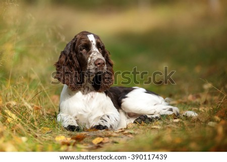 Cute Puppy English Springer Spaniel lying on the the footpath #390117439