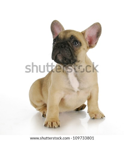 cute puppy - french bulldog puppy sitting looking up on white background - 8 weeks old