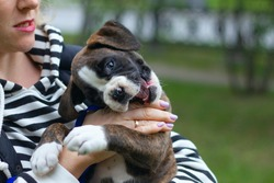 Cute puppy german boxer bites it's owner's hands, playing outdoors. People walking, relaxing with pets. People and pets concept