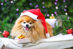 Cute puppy, happy positive Pomeranian Spitz dog smiling with Christmas presents, gifts, balls and decoration. Happy New Year with pet