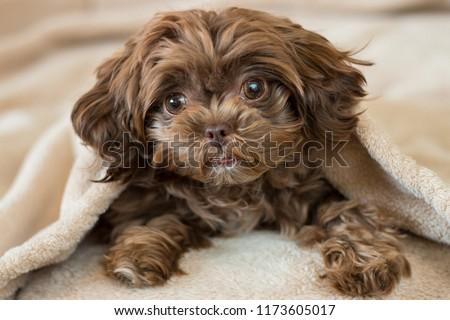 Cute puppy hiding in blanket #1173605017
