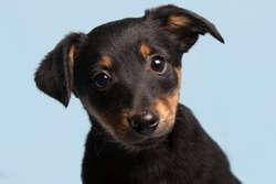 cute puppy, isolated on light blue background