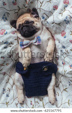 Stock Photo Cute puppy of a pug on the blanket