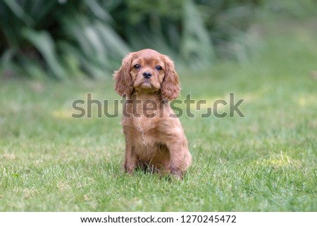Cute puppy of cavalier spaniel sitting on the grass #1270245472