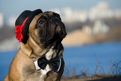 Cute puppy of French Bulldog breed wearing elegant black hat decorated with red flower and black and white bow-tie poses against sky and river background.