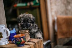 Cute Puppy of German Shepherd is very funny when trink Coffee of my glass.