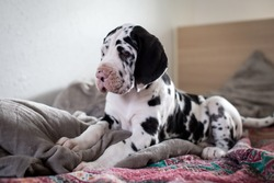 cute puppy of great dane , harlequin dog in the bed