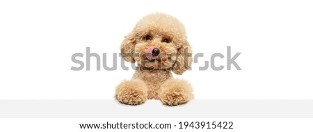 Cute puppy of Maltipoo dog posing isolated over white background ストックフォト ©
