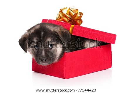 Cute puppy of 1,5 months old in gift box on a white background