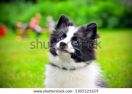 Cute puppy of Papillon dog breed in summer park. Portrait of lovely papillon puppy playing with dogs outdoor in garden. Papillon puppy known Continental Toy Spaniel, breed of tiny dog, spaniel type #1305521659