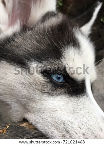 Cute puppy of Siberian husky. Chewing wood. #721021468