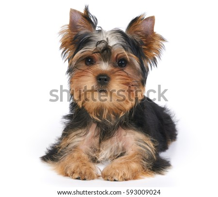 Cute puppy of the Yorkshire Terrier lies on white background. Isolated #593009024