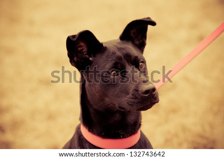 Cute Puppy On Leash - This is a photo of a cute young female puppy with a pink collar and leash. Shot in a warm retro color tone.