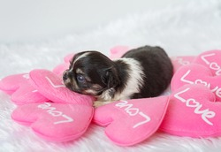 Cute puppy on Valentine's Day with Pink hearton white background