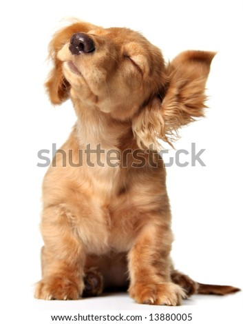 Cute puppy shaking its head, listening to music. Also available with headphones.