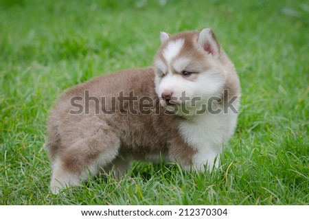 Cute Puppy Siberian Husky Howling On Grass Ez Canvas
