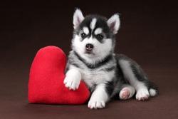 Cute Puppy Siberian Husky with a pillow heart