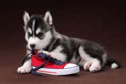 Cute Puppy Siberian husky with red sneakers