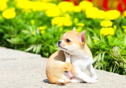 Cute puppy sitting and scratching his ear on the street. A small dog posing on a background of flowers. Chihuahua. Horizontal image. Close up. Copy space.
