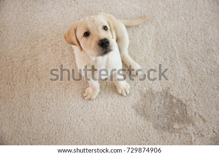 Cute puppy sitting on carpet near wet spot
