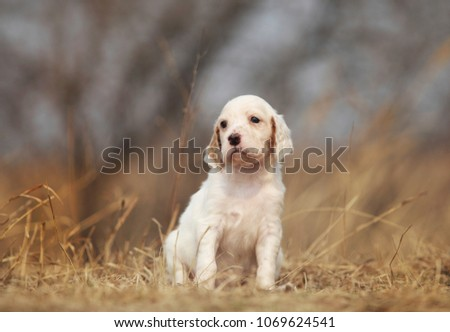 Cute puppy sitting outdoor. English setter dog. #1069624541