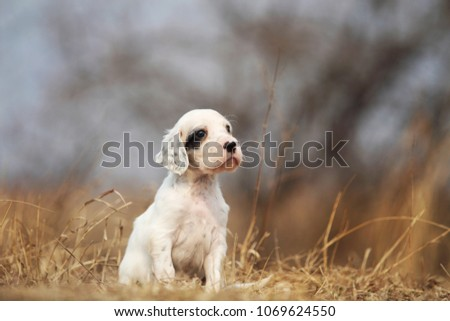 Cute puppy sitting outdoor. English setter dog. #1069624550