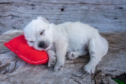 Cute puppy sleeping on red heart pillow,holiday concept.