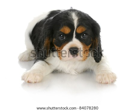 cute puppy - tri-color cavalier king charles spaniel puppy laying down looking at viewer - 6 weeks old