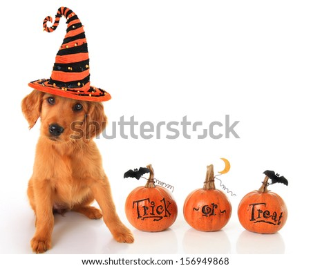 Cute puppy wearing a Halloween witch hat with pumpkins.